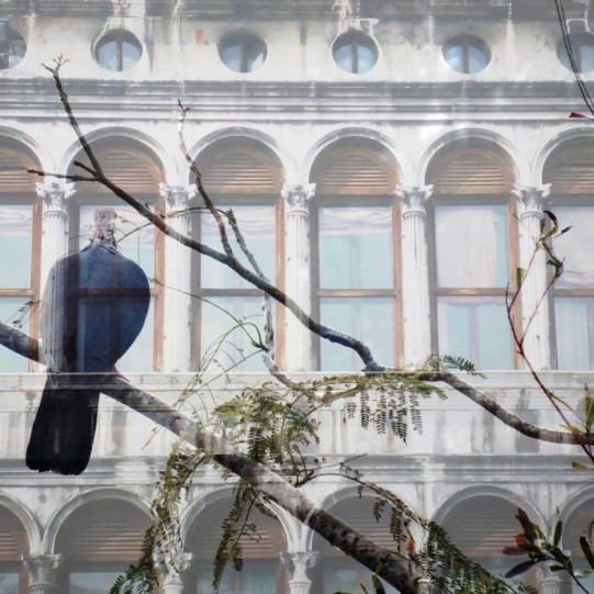 Venice and the Fruit Pigeon